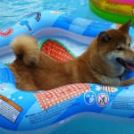 Shibe in a Pool