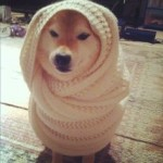 Shibe Wrapped in a Blanket