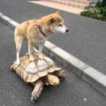 Shibe Riding a Turtle