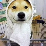 Shibe in a Towel