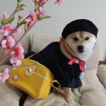 French Shibe