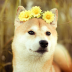 Shibe With a Flower Halo