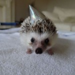 Hedgehog Wearing a Party Hat