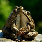 Frogs Hugging