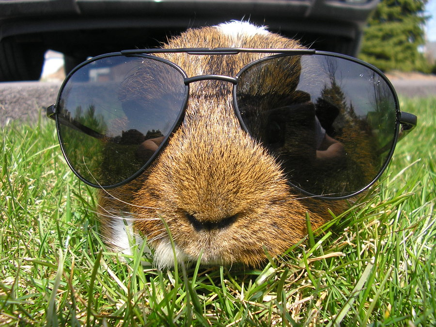 Guinea Pig Wearing Sunglasses