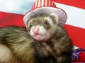 Patriotic Ferret - 4th of July