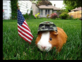 Patriotic Guinea Pig - 4th of July