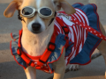 Patriotic Puppy - 4th of July