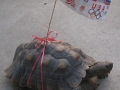 Patriotic Turtle - 4th of July